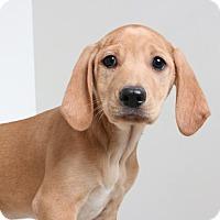 Adopt A Pet :: Prima D170032 - Edina, MN