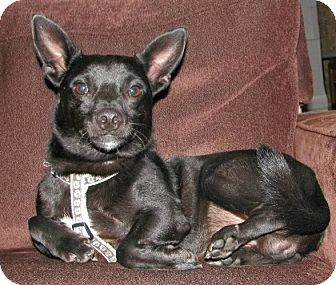 Chihuahua/Manchester Terrier Mix Dog for adoption in Harrisonburg, Virginia - Oliver