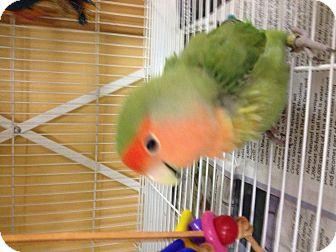 Lovebird for adoption in Punta Gorda, Florida - Pecker