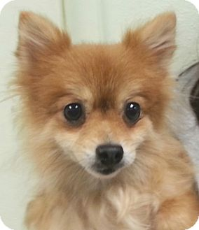 Pomeranian Dog for adoption in Orlando, Florida - Bride