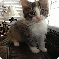 Adopt A Pet :: Zuli - Harrisburg, NC