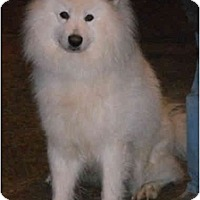 Adopt A Pet :: Snowflake - Arvada, CO