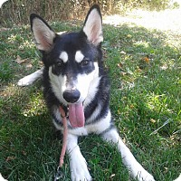 Adopt A Pet :: Darla - Augusta County, VA
