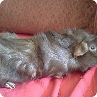 Adopt A Pet :: Gilbert - San Antonio, TX