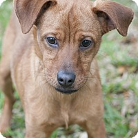 Adopt A Pet :: Phoenix - Norwalk, CT