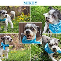 Adopt A Pet :: Mikey - Downers Grove, IL