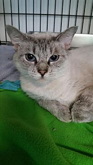 Siamese Cat for adoption in Battle Creek, Michigan - Sage
