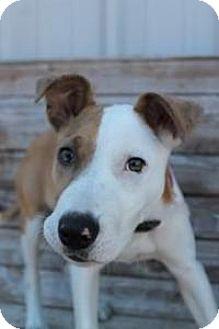 Basenji/Pit Bull Terrier Mix Dog for adoption in Yukon, Oklahoma - Fairy