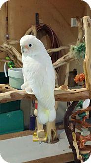 Cockatoo for adoption in Shawnee Mission, Kansas - Bob