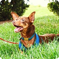 Chihuahua/Terrier (Unknown Type, Medium) Mix Dog for adoption in Columbia, Tennessee - Rusty