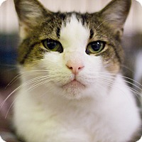 Domestic Shorthair Cat for adoption in Grayslake, Illinois - Fritos