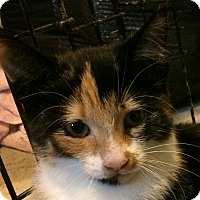 Calico Kitten for adoption in Ypsilanti, Michigan - Kylista