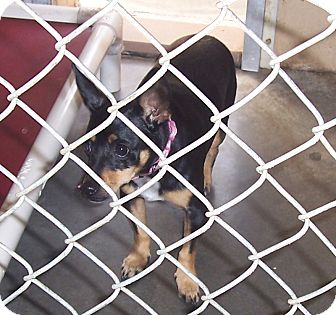 Miniature Pinscher Mix Dog for adoption in Fall River, Massachusetts - Tootsie