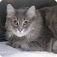 Adopt A Pet :: Bigfoot - Merrifield, VA