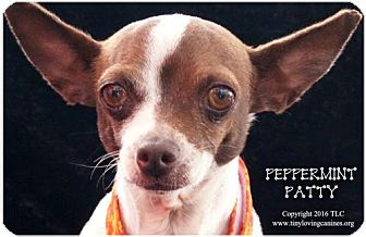 Rat Terrier Mix Dog for adoption in Simi Valley, California - PeppermintPatty