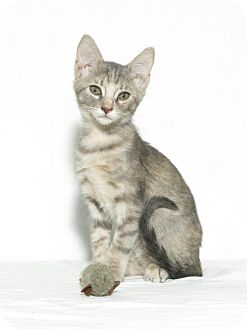 Domestic Shorthair Kitten for adoption in Lufkin, Texas - Piper