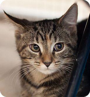 Domestic Shorthair Kitten for adoption in Alexandria, Virginia - Camilo