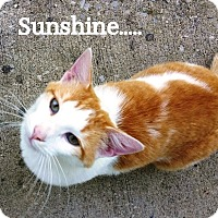 Domestic Shorthair Cat for adoption in Somerset, Kentucky - Sunshine