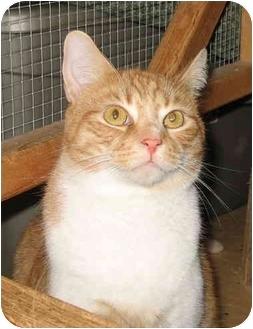 Domestic Shorthair Cat for adoption in Cincinnati, Ohio - Quincy