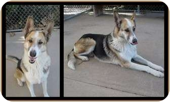 Collie/German Shepherd Dog Mix Dog for adoption in San Diego, California - Gracie