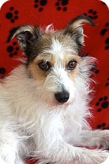 Jack Russell Terrier/Terrier (Unknown Type, Medium) Mix Dog for adoption in san diego, California - MURPHY !