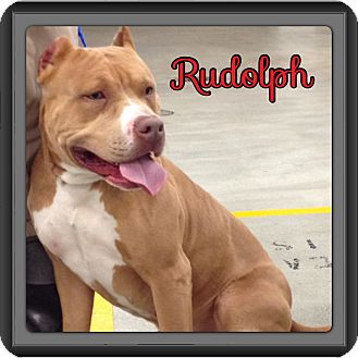 American Pit Bull Terrier Dog for adoption in Spring, Texas - Rudolph