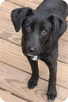 Labrador Retriever Mix Puppy for adoption in Worcester, Massachusetts - Asher