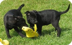 Labrador Retriever Mix Puppy for adoption in Hancock, Michigan - Hope