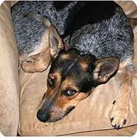 Adopt A Pet :: Moxie - Phoenix, AZ