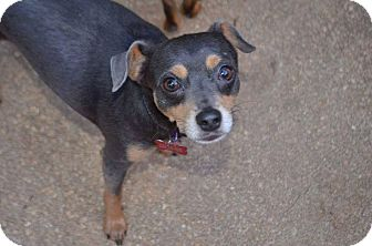 Miniature Pinscher/Chihuahua Mix Dog for adoption in Crestview, Florida - Taylor (Blue Boy)