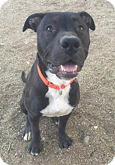 Pit Bull Terrier/Staffordshire Bull Terrier Mix Dog for adoption in Tucson, Arizona - Dallas
