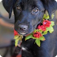 Adopt A Pet :: Lilah - Baton Rouge, LA