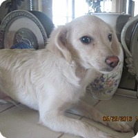 Terrier (Unknown Type, Medium) Mix Puppy for adoption in La Mesa, California - SIMON