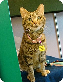 Domestic Shorthair Cat for adoption in Lakewood, Colorado - Indri