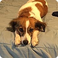 Adopt A Pet :: Sadie - Mt. Prospect, IL