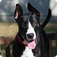 Adopt A Pet :: Phoebe - Pontiac, MI