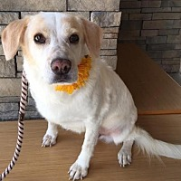 Adopt A Pet :: Honey--Courtesy Listing - Fort Worth, TX