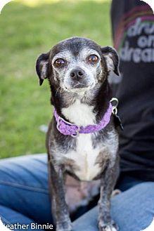 Chihuahua Mix Dog for adoption in Tucson, Arizona - Pippa
