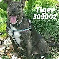 Adopt A Pet :: 309002 Tiger - San Antonio, TX