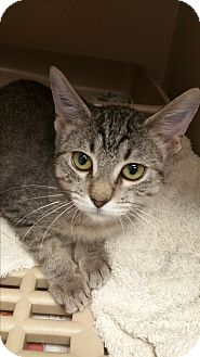 Domestic Shorthair Kitten for adoption in Houston, Texas - Harriet