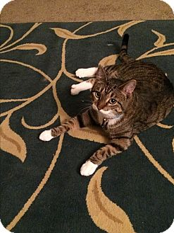 Domestic Shorthair Cat for adoption in Baltimore, Maryland - Fred (COURTESY POST)