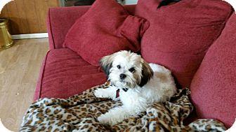Shih Tzu Puppy for adoption in Dallas, Texas - Chloe