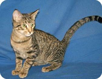 Domestic Shorthair Kitten for adoption in Colorado Springs, Colorado - K-Sasha3-Shane