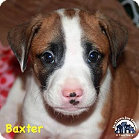 Border Collie Mix Puppy for adoption in Suwanee, Georgia - Baxter