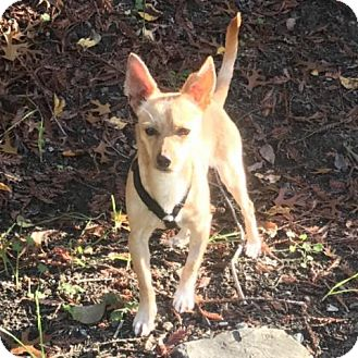 Chihuahua/Terrier (Unknown Type, Medium) Mix Dog for adoption in Pleasant Hill, California - Bullwinkle