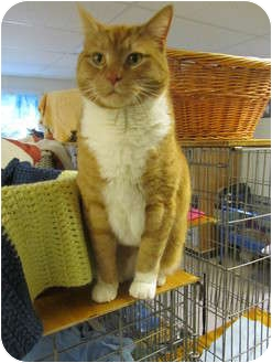 Domestic Shorthair Cat for adoption in Pascoag, Rhode Island - Dexter