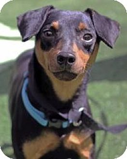Miniature Pinscher Dog for adoption in Mount Gretna, Pennsylvania - Austin