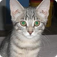 Adopt A Pet :: Nolen - Colmar, PA