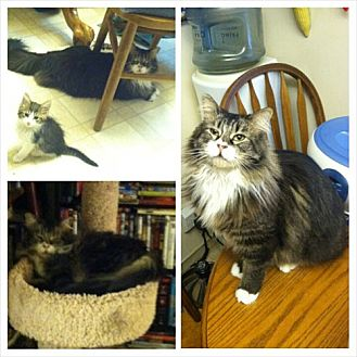 Maine Coon Cat for adoption in Monrovia, California - Bear