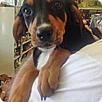 Adopt A Pet :: Boxer Mix Pup - Frannie - Midlothian, VA